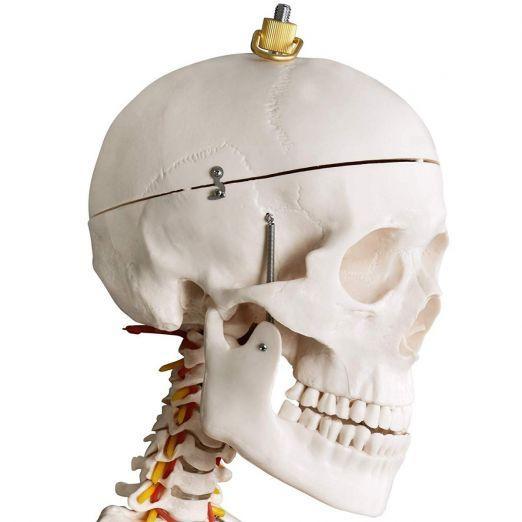 Anatomski model okostnjaka za učenje cena
