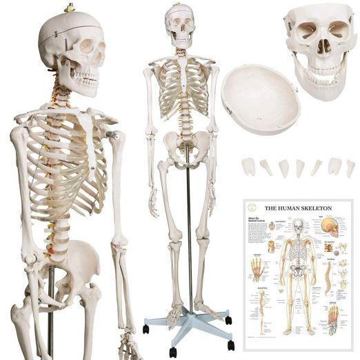Anatomski model okostnjaka za učenje